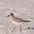 Adult winter plumage