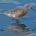 Breeding plumage