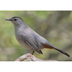 Adult. Note: clean gray body, rufous undertail coverts, and black cap.