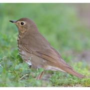 Note: tail nearly the same color as back, buffy spectacles, and rufous-olive flanks.