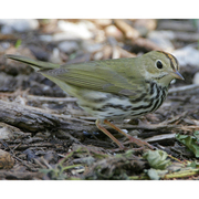 Note: greenish wings/back, orange crown bordered by dark stripes and bold eye ring.